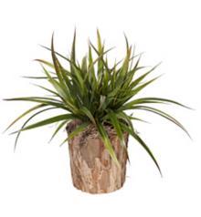 Faux Burlap Grass in Bark Wood Pot